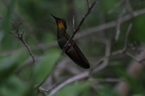 Ruby Topaz Hummingbird (Chrysolampis mosquitus)